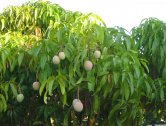Mangoes are gorgeous evergreen fruit trees