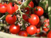 cherry tomatoes are so easy to grow