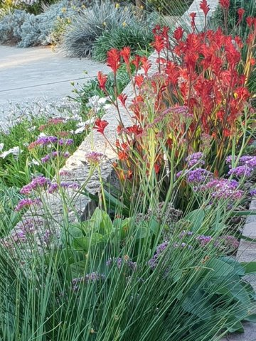 Limonium and kangaroo paw Cottesloe