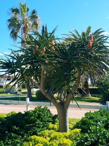 The majestic Aloe Barbarae