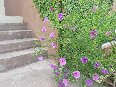 Alyogyne Aussie Purple long flowering native shrub