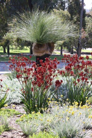 kangaroo paws with grass tree