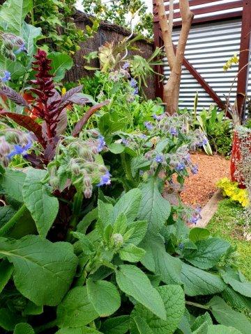 borage is excellent for pollinators and predators