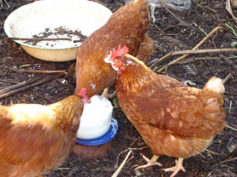 The chooks that got the cream