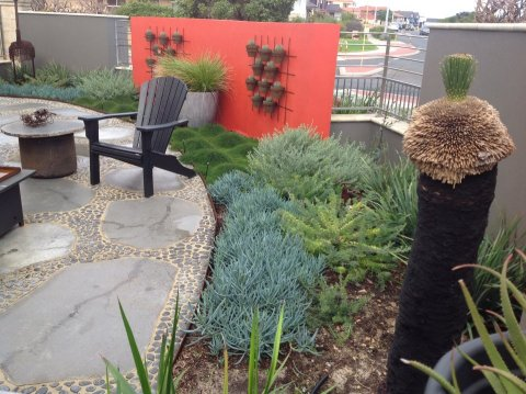 Contemporary courtyard garden with Senecio Blue Chalksticks and Allocasuarina Cousin It