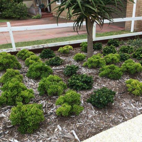 Mounded shrubs