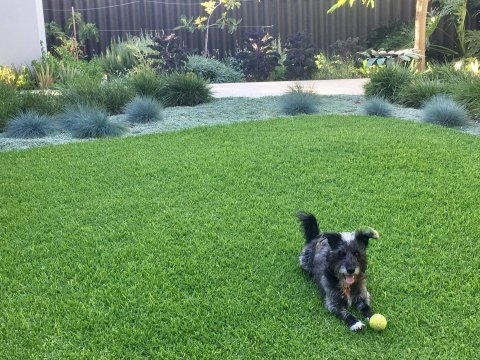 blue fescue, dymondia, dog, lawn in  East Fremantle
